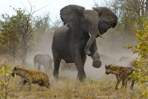 Elephant-Fighting-Off-Hyenas