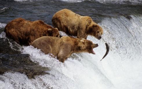 Brown Bears Fishing Alaska