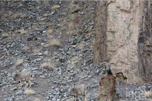 spot-the-snow-leopard