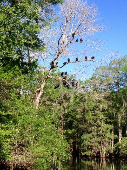 Manatee Springs vultures