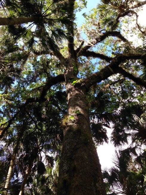 Florida Oak