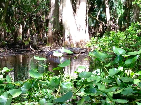 Alligator on the bank