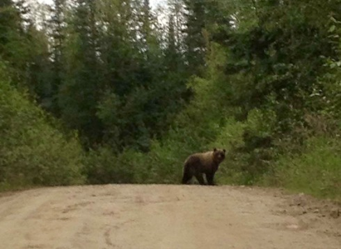 Fairbanks griz