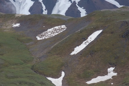 Caribou on Denali hillside