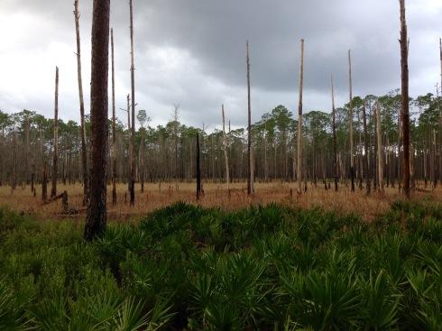 Swamp near Olustee